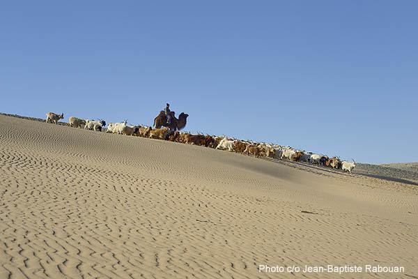 Mongolia. Bakankhongor province. Gobi desert near Jinst village. Munchjargal family, breeders of camel and cashmere goats. Conducting the herd through the sand dunes.