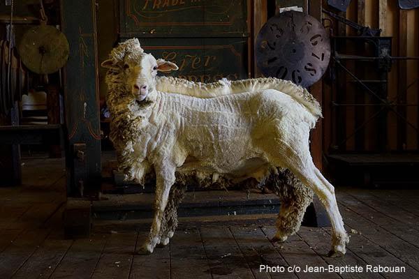 Australia, Tasmania, Campbell town, Winton farm. A half shorn Merino sheep.