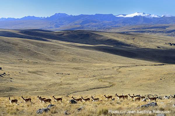 Peru, region of Puno (Titicaca), province of San Antonio De Putina. Inca Quetchua community of Picotani (includes 3 villages Picotani, Toma and Cambria) at more than 4500 meters altitude. Group of Vicuna in the Altiplano at more than 4800 meters altitude with the Cordillera in the background.