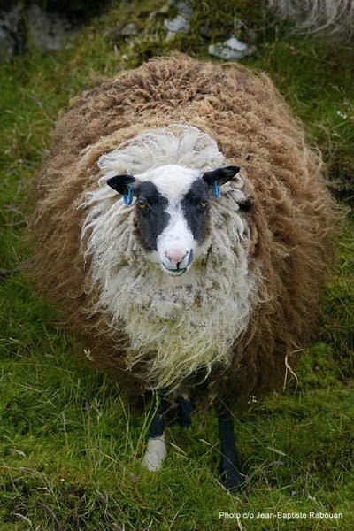 UK, Scotland, Shetland islands, Mainland. Jim Lindsay farm Lunnaness, Vidlin. A colored Shetland sheep. Shetland sheep is a very ancient breed well preserved and known for its variety of colors.
