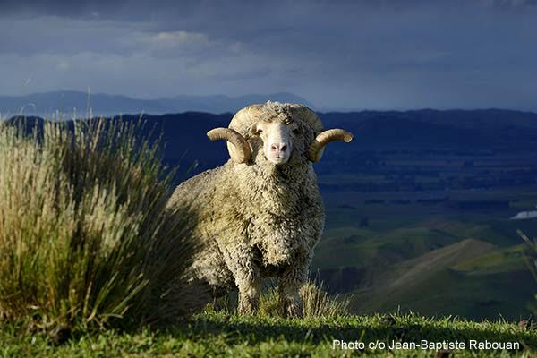 New-Zealand, Southern Island. Dick Bell merinos farm.