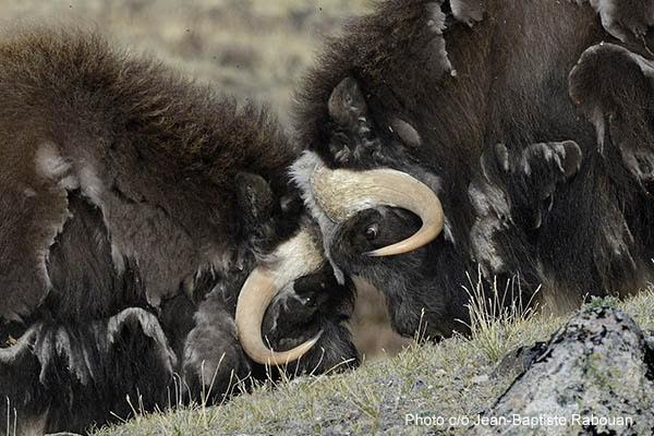 Greenland, Sondre Stromfjord, Kangerlussuaq. Musk oxen in june when they lose their fleece in the bushes (salix glauca) and on rocks. Musk ox fighting.
