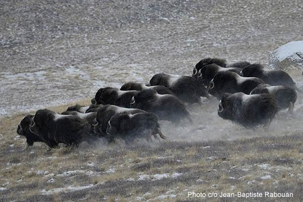 Greenland, Sondre Stromfjord, Kangerlussuaq (month of february by -22F -30C). Professional hunting for the musk ox with Abel Fontain and Henrik Fleicher. Big group of musk oxen (about 30 heads) running away after a missed shot.