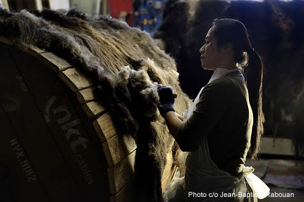 Greenland, Sondre Stromfjord, Kangerlussuaq (month of february). Production of qiviut, musk ox wool, by combing the skins in the workshop of Birthe Melin and Anita Hoegh.