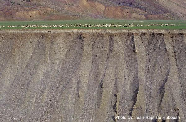 India, Ladakh, Changtang. Pashmina goat herd pasturing on the edge of a cliff at more than 4000 meters altitude.
